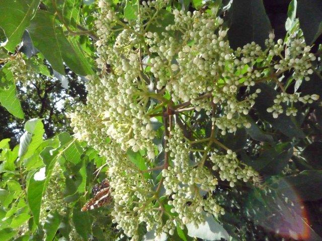 Auch Falter lieben den Bienenbaum