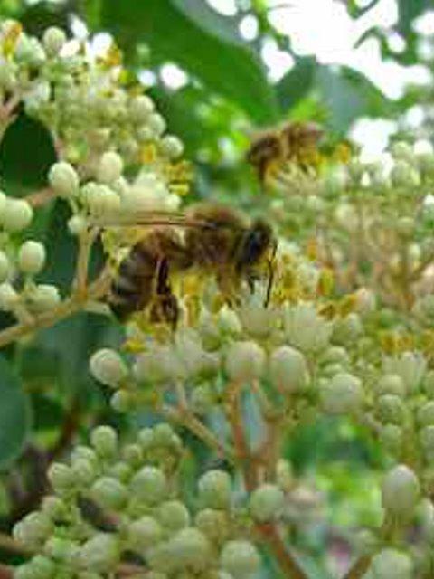 Biene Blüte Euodia
