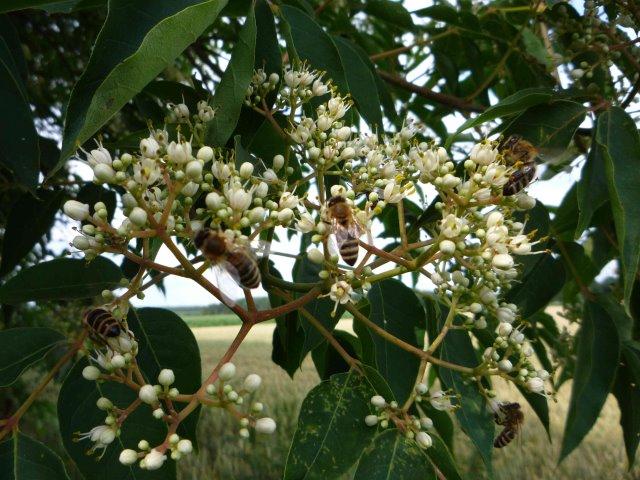Bienen an meiner Mutterpflanze