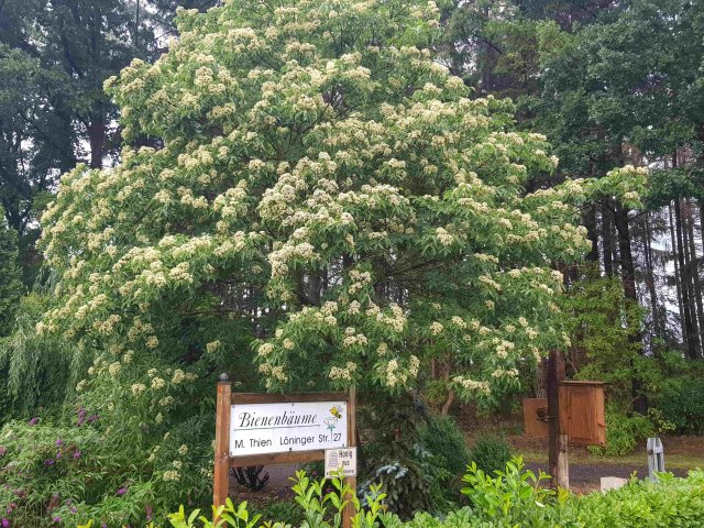 Bienenbaum am Haus