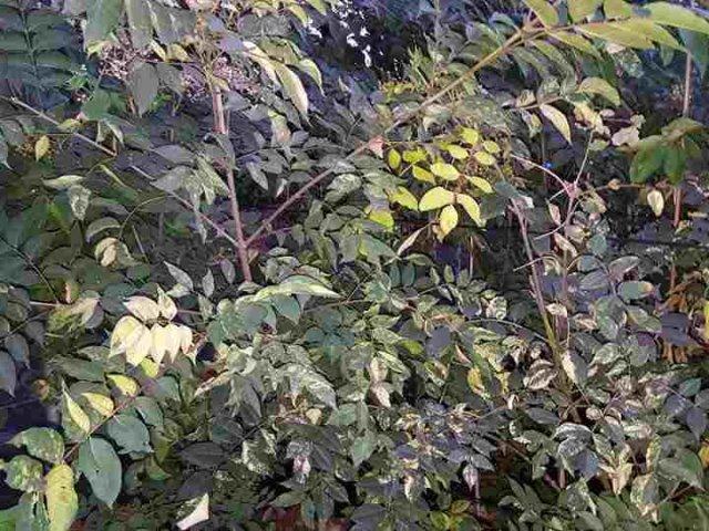 Bienenbaum buntlaubig 10