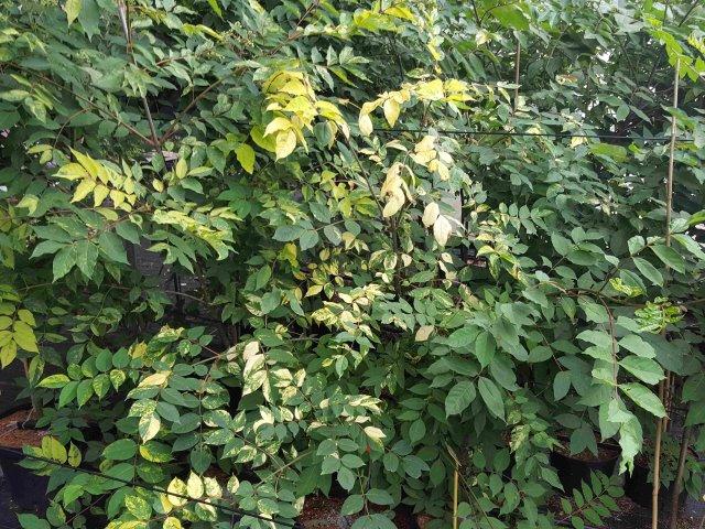 Bienenbaum buntlaubig 11