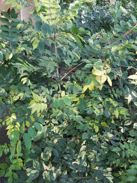 Bienenbaum buntlaubig 2