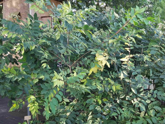 Bienenbaum buntlaubig 3