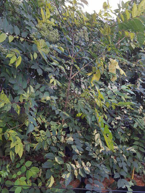Bienenbaum buntlaubig 5