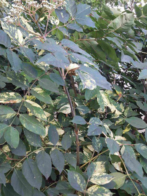 Bienenbaum buntlaubig 6