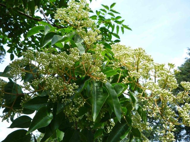Blüten am Mutterbaum