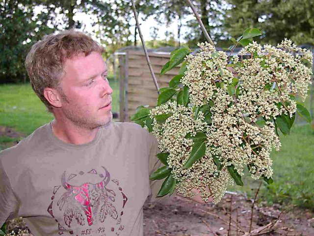 Blütenstand der Vaterpflanze