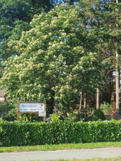Eigener Bienenbaum in Vollblüte
