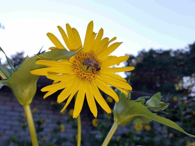 Esret Blüte Ende Juni