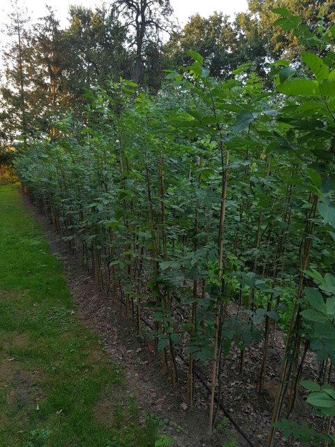 Freilandpflanzen zu erziehen von Hochstämmen