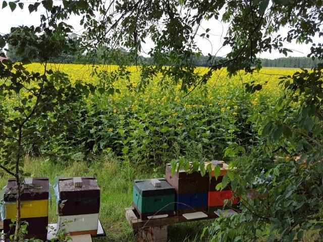 Mein Bienenstand an der Silphie