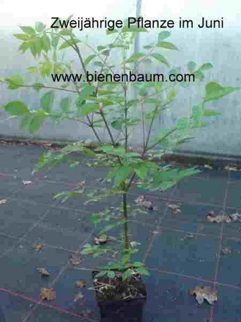 Pflanze im zweiten Jahr