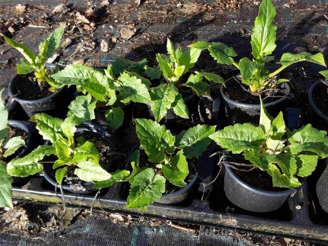 Pflanzen 10 Monate alt im März
