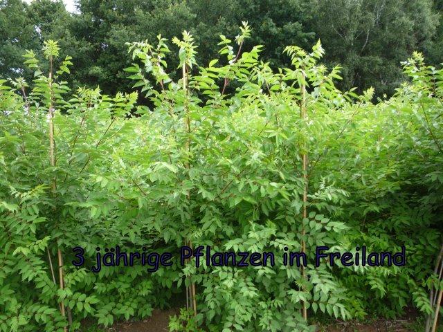 Pflanzen im Freiland im dritten Jahr