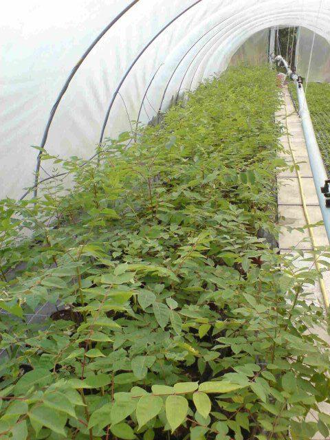 Pflanzen zum erziehen als Hochstamm