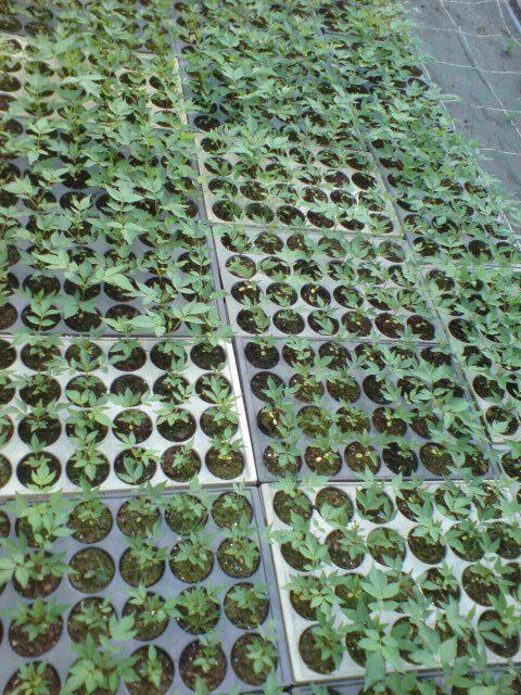 Pikierte Jungpflanzen Mai Juni