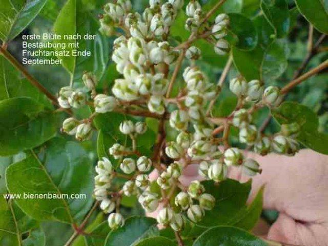 Übergang von Blüte zur Frucht