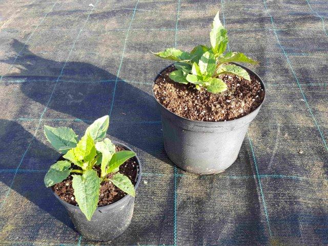 Umgetopfte Vorjahrespflanzen